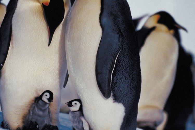 Algunos pingüinos viven en sociedades cooperativas.