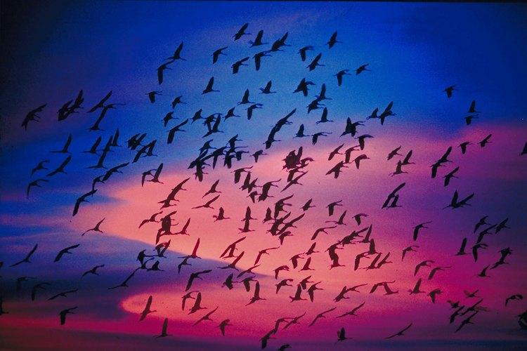 Muchas aves migran en bandada durante los meses de invierno.