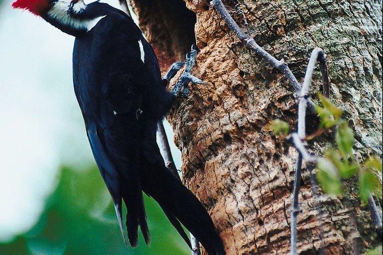 Puedes reconocer al pájaro carpintero por su cabeza con rayas de cebra y cresta roja.