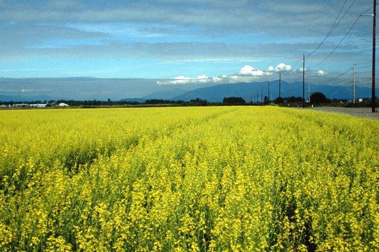 Los brotes de flor de mostaza emergen cinco semanas después de germinar y las floraciones amarillas completas aparecen en siete a 10 días.