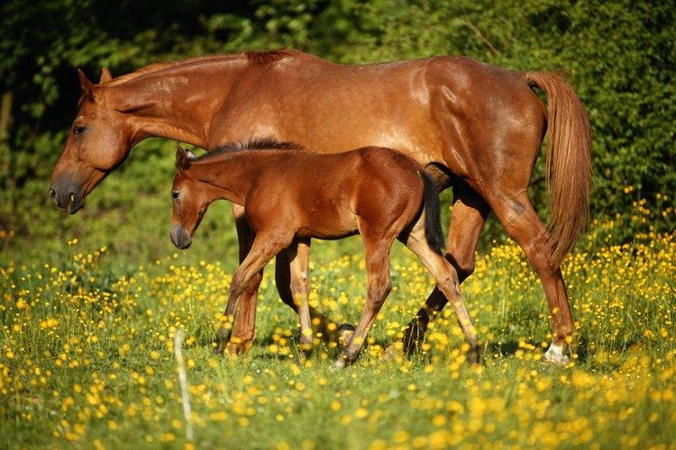 El tiempo normal de gestación de los caballos es de 11 meses.