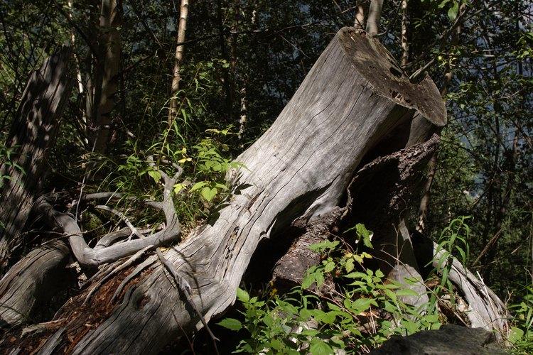 El tronco y las raíces morirán en cuatro a seis semanas.