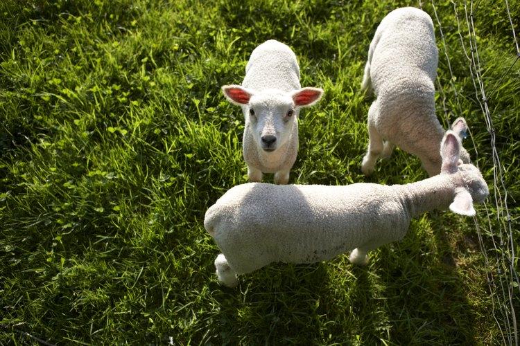 Los corderos deben tener un corral seguro lejos del resto del rebaño.