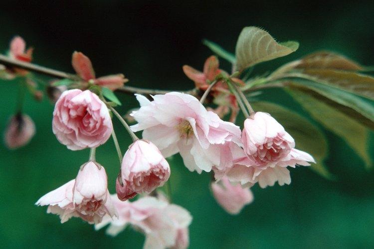 Kwanzan es un cultivo del cerezo oriental con flores dobles que tienen un pétalo adicional.
