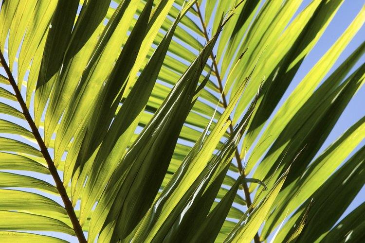 Crece más palmas sagú a partir de segmentos o hijuelos formados alrededor de la base de las plantas maduras.