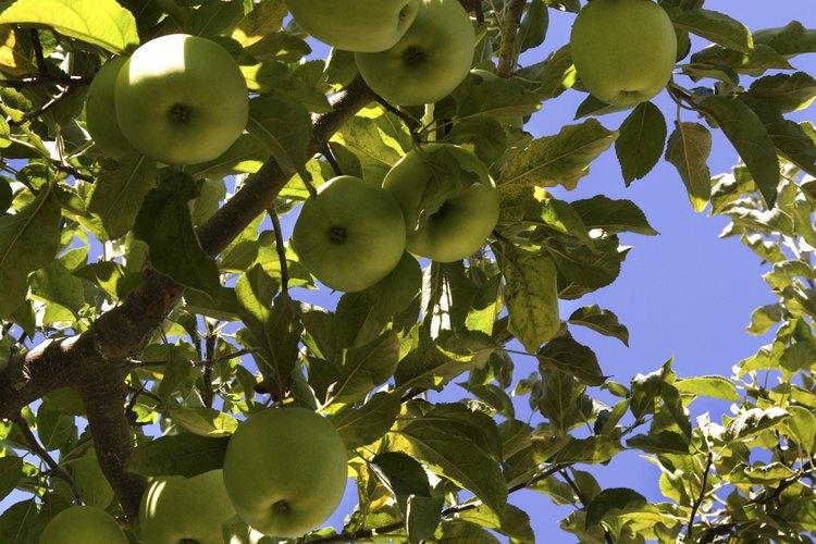 Los manzanos necesitan un lugar soleado y protegido de los vientos huracanados.