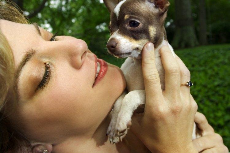 os chihuahuas cabeza de manzana pesan sólo alrededor de 6 libras (3 Kg) en su madurez, esto si el perro no tiene exceso de peso.