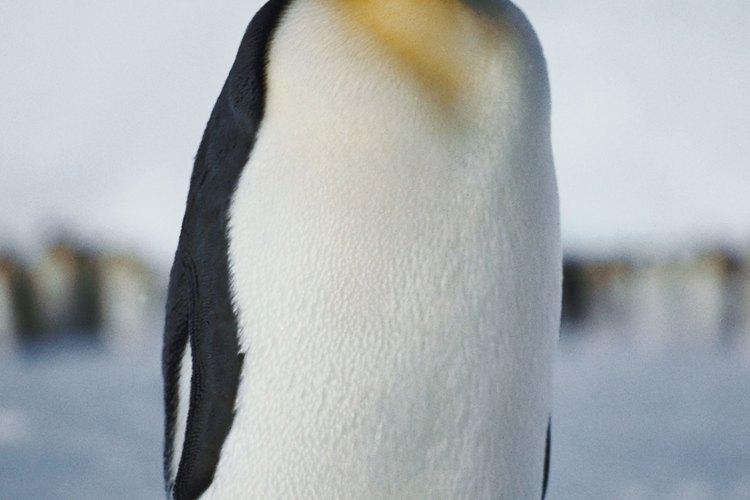 Los pingüinos jóvenes se resguardan del frío bajo los cuerpos de sus padres.