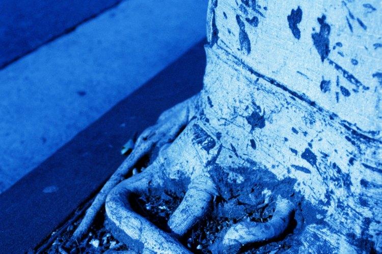 Las raíces del árbol pueden dañar las aceras, adoquines, cimientos y muros de contención.