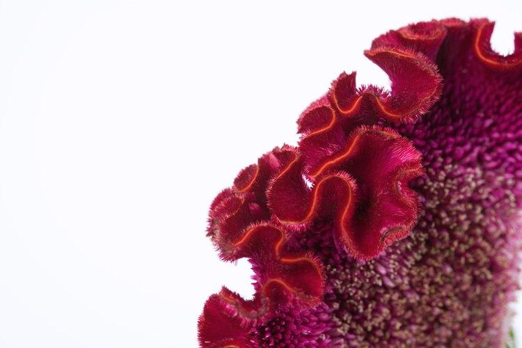 La celosia roja terciopelo tiene una textura borrosa similar al terciopelo.