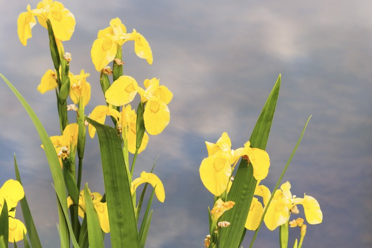 Irises amarillos