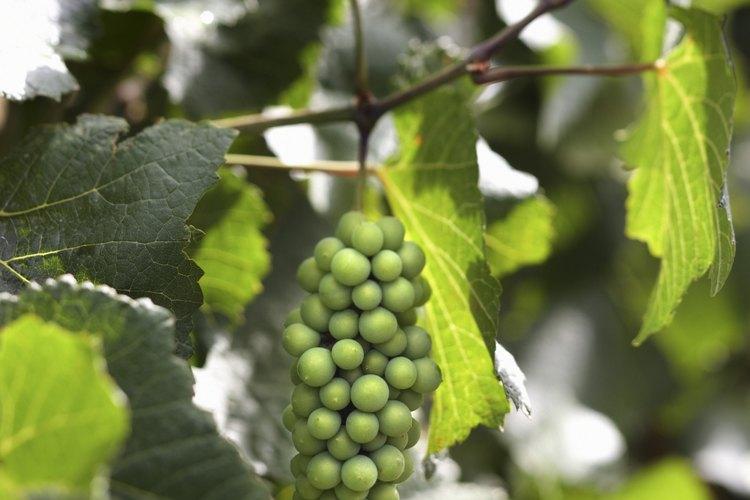 Las parras de uva deberían ser disuadidas de fructificar durante su primera temporada.