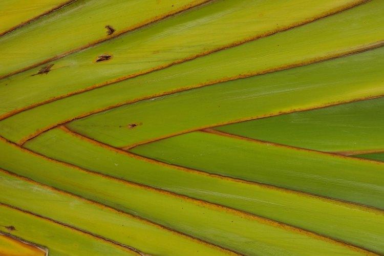 Distribuye las hojas de palmas.