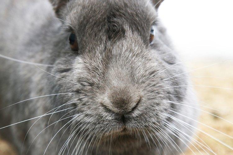 Los conejos golpean sus patas como una advertencia.
