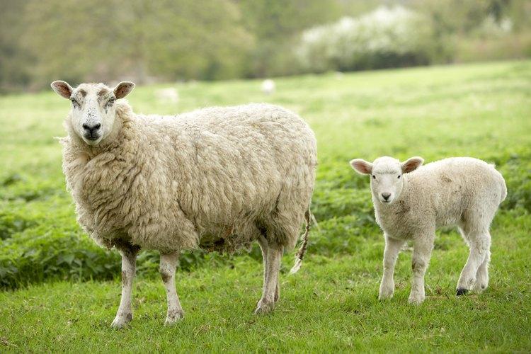 Las ovejas domésticas requieren de esquila anual.