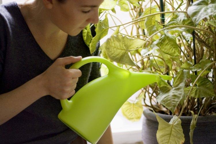 Alimentar a las plantas con leche o Coca-Cola puede ser dañino para el crecimiento de la planta si no se usan correctamente.