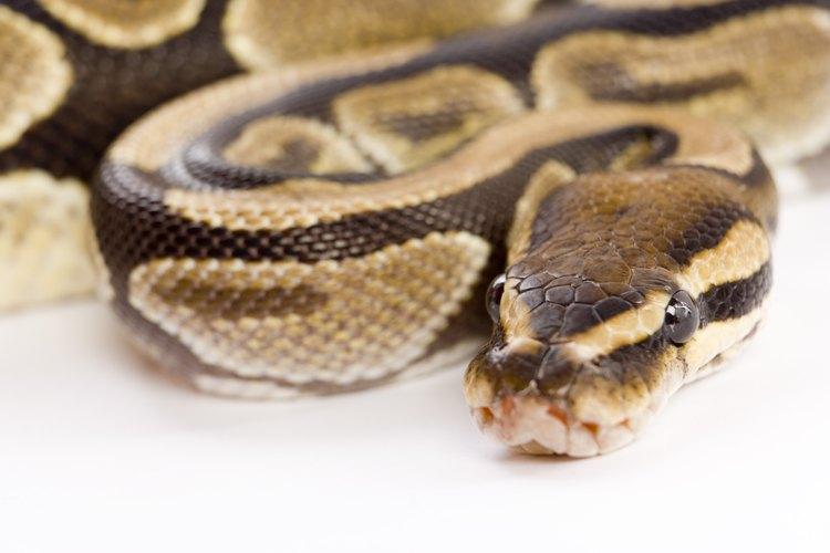 Las serpientes son de sangre fría y suelen hibernar para sobrevivir a las temperaturas extremas.