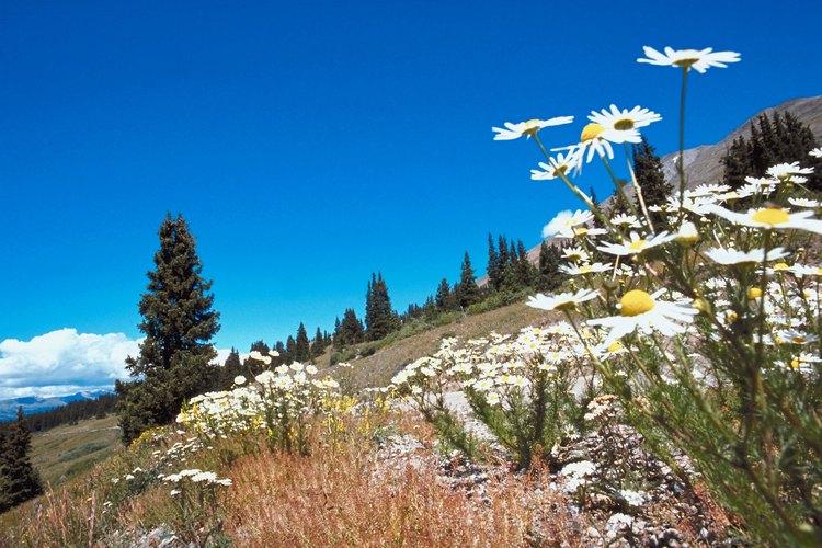 Las flores silvestres son comunes en las montañas cerca del camino Herman Gulch.