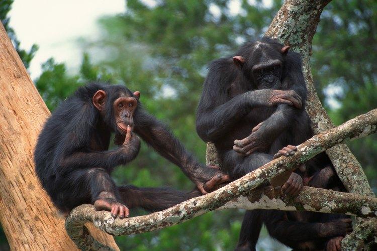 Los chimpancés comen tanto plantas como animales en la selva tropical.