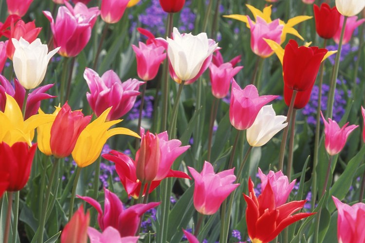 Un lecho de tulipanes con forma de taza de diferentes colores.