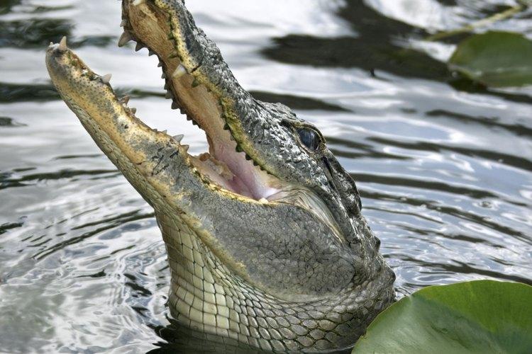 Los caimanes pueden aparecer mientras estás disfrutando de tu recorrido en cámara de aire, toma precauciones.