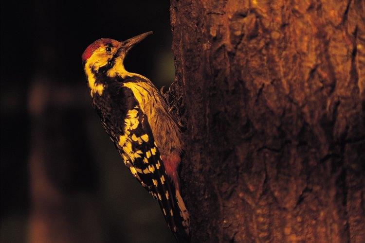 Los pinzones carpinteros utilizan sus picos largos para extraer insectos de los árboles. No utilizan herramientas.