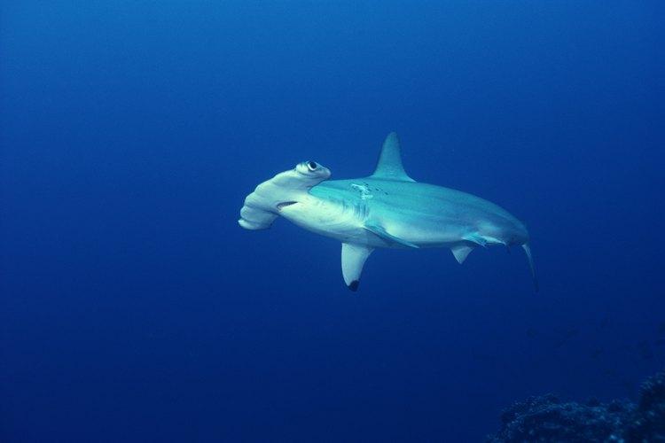 Los tiburones martillo son una gran atracción en las Galápagos.