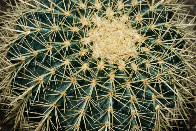 Riega el cactus temprano en la mañana para reducir el riesgo de que se pudra.