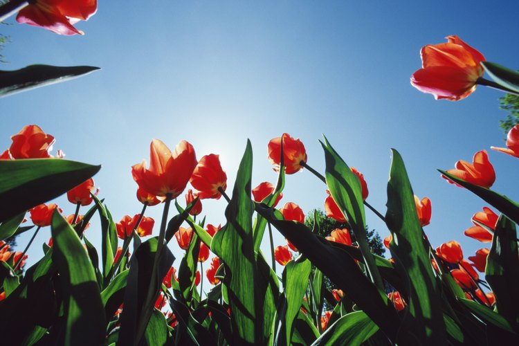 Las flores de tulipán se abren al sol y se cierran en situaciones de poca luz.