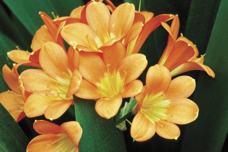 La clivia florece en pleno invierno hasta principios de la primavera, seguida de frutos rojos tipo bayas.