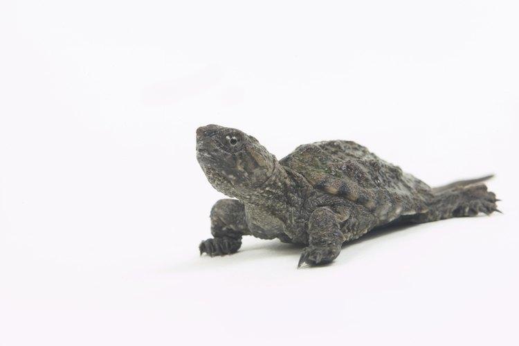 El comedor de algas chino es un pequeño pez rápido que evade bien a las tortugas.