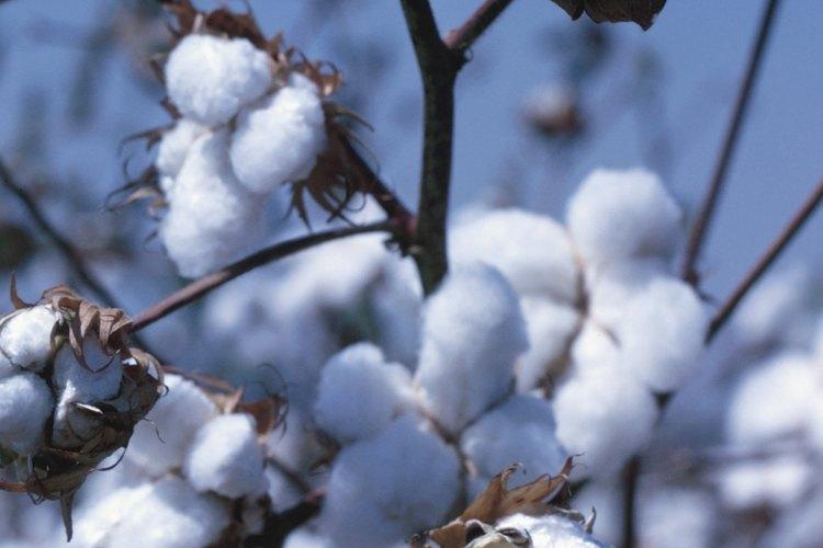 El algodón es una fibra de crecimiento natural obtenida de la planta de algodón.