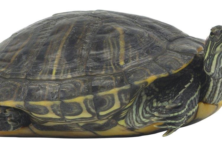 Las tortugas deslizadoras tienen su nombre debido a la manera que se deslizan al agua desde donde toman sol.