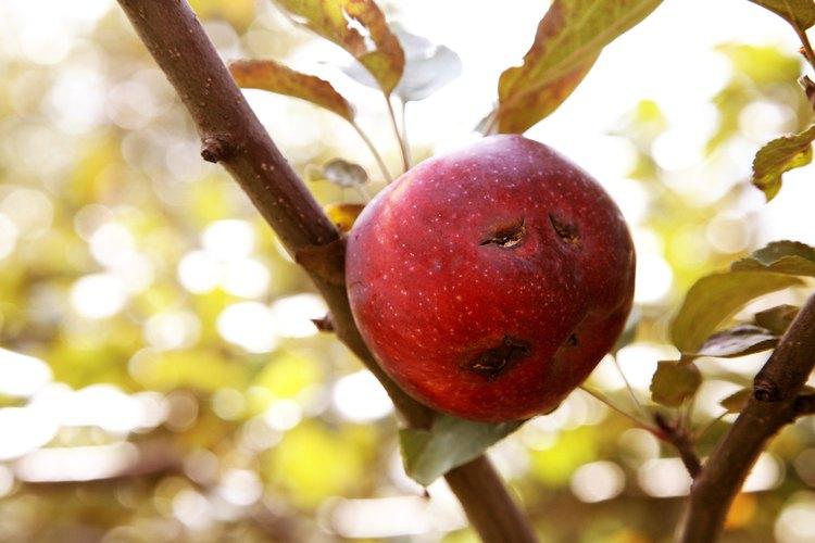 Un huerto de árboles frutales saludable producirá una gran cantidad de frutas y nueces.