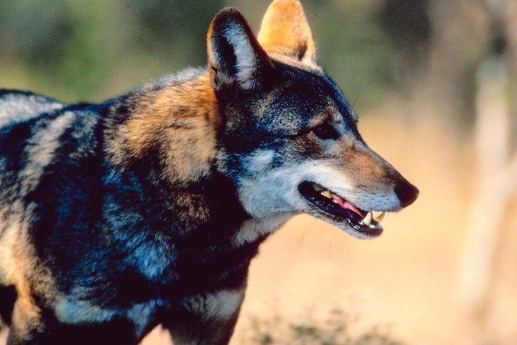 En la naturaleza viven más de 100 zorros rojos.