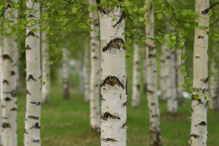 La madera de abedul es una opción ideal para fabricar mobiliario.