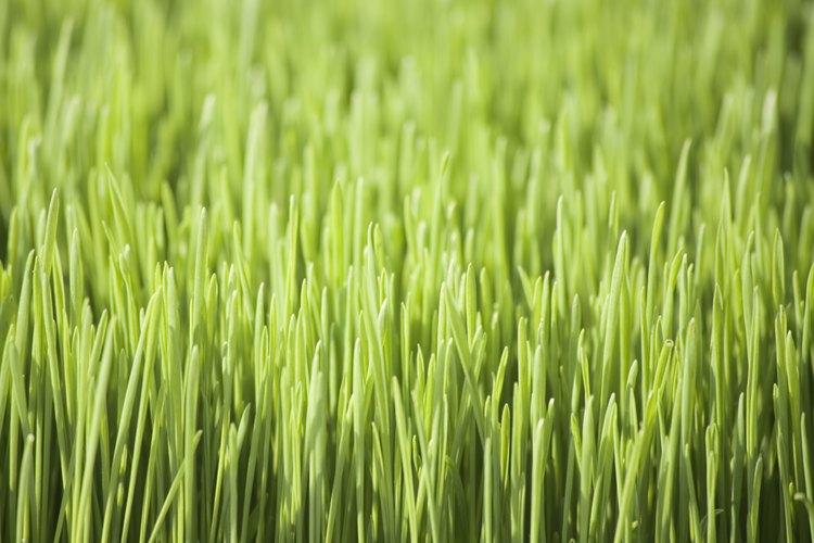 El agropiro es promocionado como un alimento estupendo para la salud.