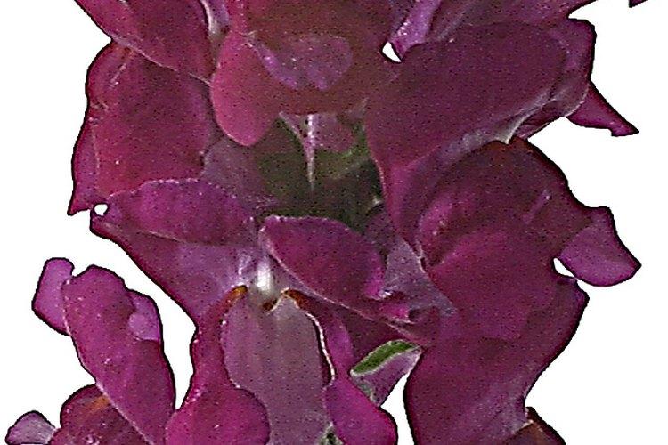 La tillandsia ionantha (ruborizada novia), a veces llamada T. ionantha, es una planta aérea de floración colorida.