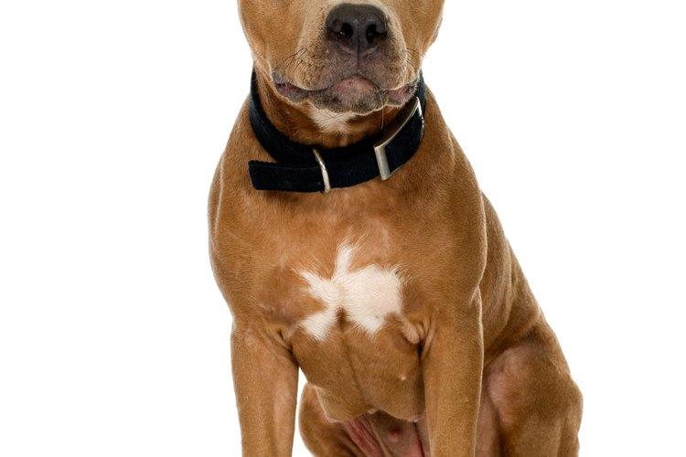 El guapo y leal pitbull terrier estadounidense.