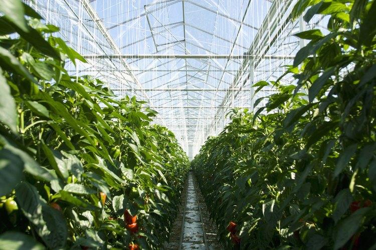 Cómo matar a las larvas de mosquito del hongo en las plantas de interior.