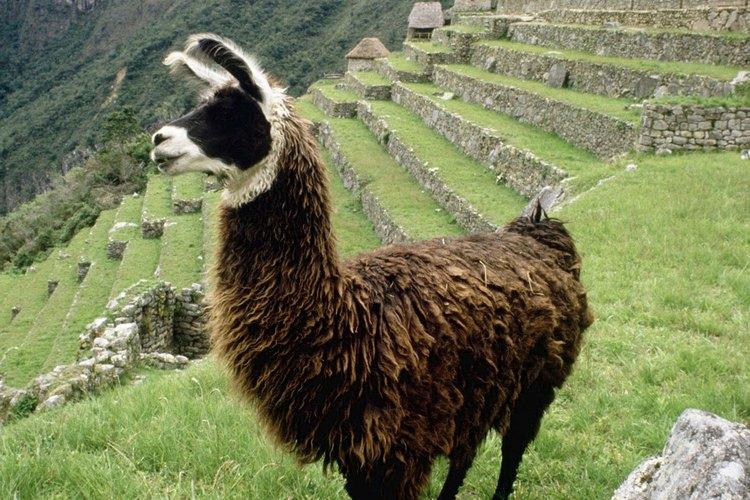 Los incas comían los peces situados cerca de la costa de América del Sur.