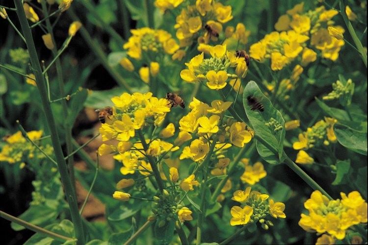 Ayuda al proceso de polinización cultivando plantas cerca de otras especies de floración que atraen a los insectos, especialmente las abejas.