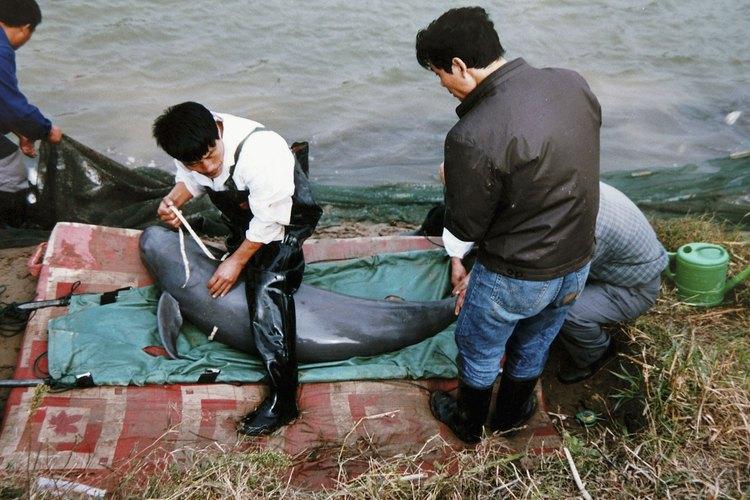 El delfín del río Yangtze, que alguna vez tuvo miles de especies, es probable que se haya extinguido en 2006.