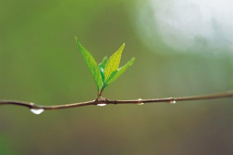 Las plantas crean azúcar como combustible de crecimiento.