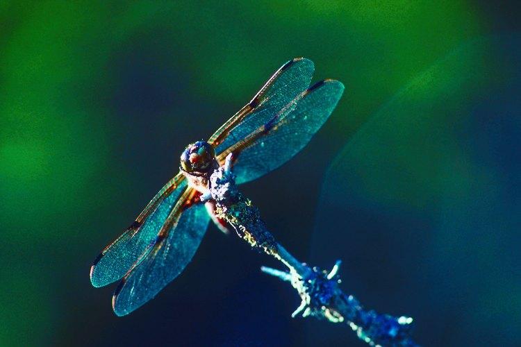 Las libélulas reflejan la salud del ecosistema.