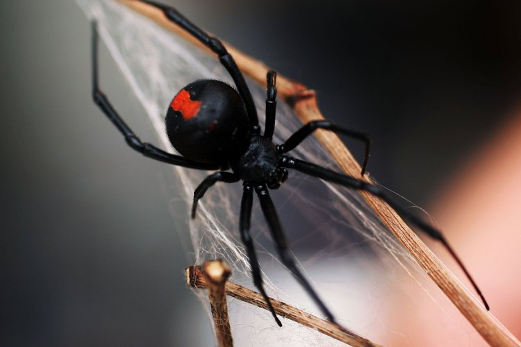Las arañas espalda roja dependen de sus redes para atrapar su alimento.