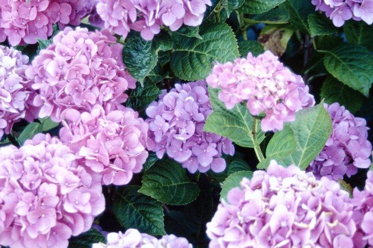 A finales de la primavera la helada puede matar los brotes de la flor de hortensia antes de que tengan la oportunidad de florecer.