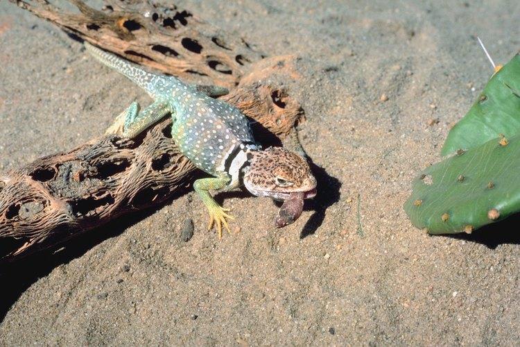 Existen varias especies de lagartijas en Georgia.