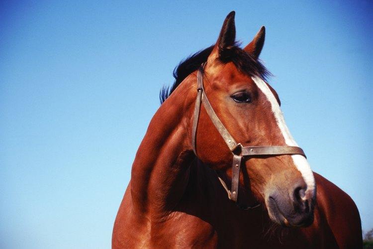 Los tatuajes se utilizan para proporcionar un registro permanente en el caballo.