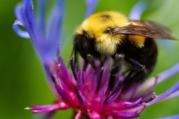 Los abejorros son polinizadores de gran alcance.